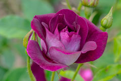 Bourgogneisberg Rose Flower Royaltyfria Bilder