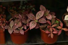 Bourgognenaturväxter i krukor stänger sig upp fotografering för bildbyråer