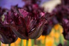 Bourgognetulpan, botaniska trädgårdar av Balchik, Bulgarien Royaltyfri Fotografi