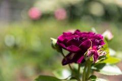 Bourgondië Rose Flower op een mooie achtergrond stock fotografie