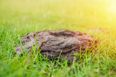 Bouse de vache au jardin, engrais sur une herbe verte r photos stock