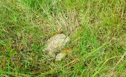 Bouse de vache sèche sur l'herbe images stock