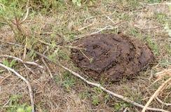 Bouse de vache sèche sur l'herbe sèche, compost, engrais Photo stock