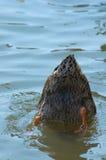 Bout de canard Image libre de droits