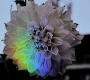 Bout des fleurs de dahlia image stock