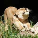 Bout droit de matin de lionesse Photographie stock libre de droits