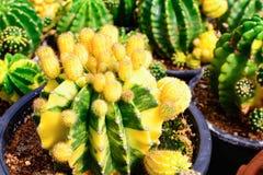 Boutique d'arbre de cactus avec l'élevage dans la maison à vendre Photographie stock libre de droits