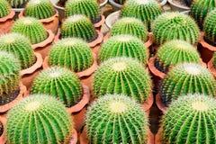 Boutique d'arbre de cactus avec l'élevage dans la maison Photo stock