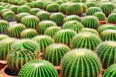 Boutique d'arbre de cactus avec l'élevage dans la maison Photos stock