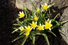Boutique de jardin La tulipe en retard de tarda de Tulipa, tulipe de tarda est un perenni Images libres de droits