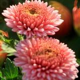 Boutique del crisantemo fotos de archivo libres de regalías