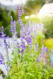 A boutique of lavenders in the garden. With natural lighting in the background Stock Photography