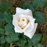 Bouton de rose blanc Image libre de droits