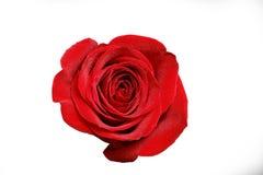 Bouton de rose de rouge avec des baisses de rosée d'isolement sur le blanc Image stock