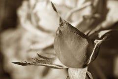 Bouton de rose de sépia dans la rosée Photographie stock