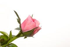 bouton de rose sur le fond blanc Photos libres de droits