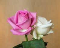 Boutons de rose roses et blancs dans la lumière naturelle Photos libres de droits