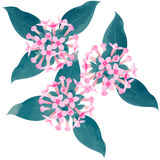 Bouvardia - birth flower vector illustration in watercolor paint Royalty Free Stock Photography