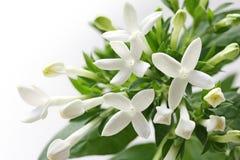 Bouvardia vit blomma arkivfoto