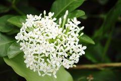 Bouvardia white flower Royalty Free Stock Image