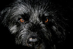 Bouvier des Flandres Royalty Free Stock Photos