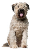 Bouvier des Flandres, 2 years old, sitting Stock Photography