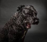Bouvier des Flandres Royalty-vrije Stock Foto