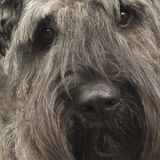 Bouvier des Flandres () Stock Photos