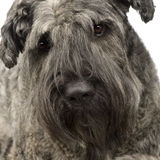 Bouvier des Flandres () Stock Images