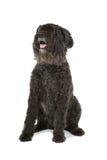 Bouvier des Flandres dog Stock Image