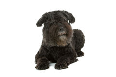 Bouvier des Flandres dog Stock Photography
