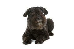 Bouvier des Flandres dog Stock Photography