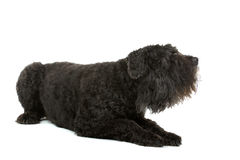 Bouvier des Flandres dog Stock Image