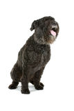 Bouvier des Flandres dog Royalty Free Stock Photo
