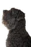 Bouvier des Flandres dog Stock Photo