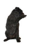 Bouvier des Flandres dog Royalty Free Stock Image