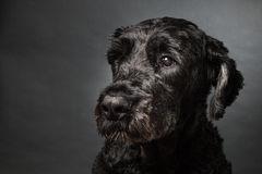 Bouvier des Flandres Stock Images