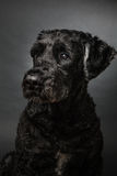 Bouvier des Flandres Royalty Free Stock Image