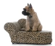 Bouvier puppy sitting. Bouvier des flandres female puppy sitting on  a dog couch on white background Royalty Free Stock Images
