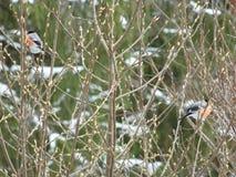 Bouvreuil d'oiseau Photographie stock libre de droits