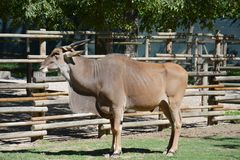 Bovídeos no jardim zoológico fotografia de stock royalty free
