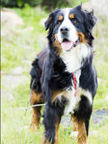 Bovaro of the bernese. The beauty of the bovaro of the bernese dog sweet friend shining mantle Royalty Free Stock Photos