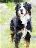 Bovaro of the bernese Royalty Free Stock Photos