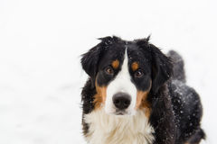 Bovaro bernese nella neve fotografia stock