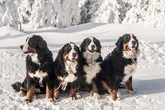 Bovaro bernese quattro che si siede sulla neve Fotografia Stock