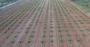 Boven een vers geplante wijngaard stock footage