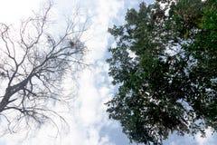 Bovenkant van boom tussen doden en levend stock foto's