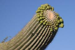 Bovenkant van cactus Saguaro Royalty-vrije Stock Afbeeldingen