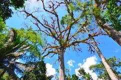 Bovenkant van Ceiba-boom bij de Archeologische Plaats van Caracol, Belize stock afbeelding