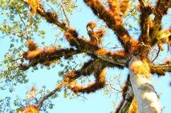 Bovenkant van Ceiba-boom bij de Archeologische Plaats van Caracol, Belize royalty-vrije stock foto